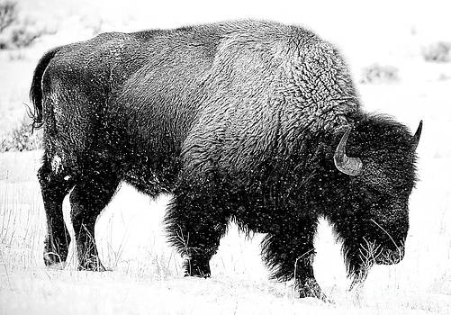 Beautiful Bison Black And White 12 by Boon Mee