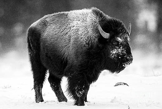 Beautiful Bison Black And White 13 by Boon Mee