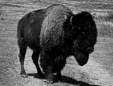 Beautiful Bison Black And White 3 by Boon Mee