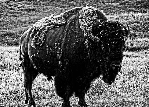 Beautiful Bison Black And White 5 by Boon Mee