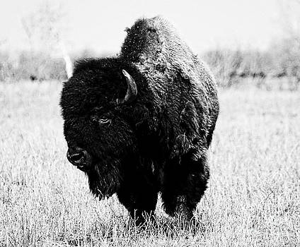 Beautiful Bison Black And White 6 by Boon Mee