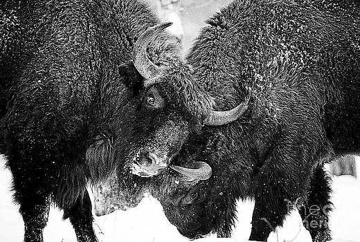 Beautiful Bison Black And White 8 by Boon Mee