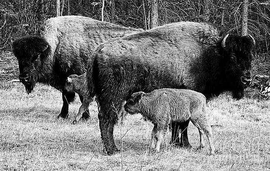 Beautiful Bison Black And White 9 by Boon Mee