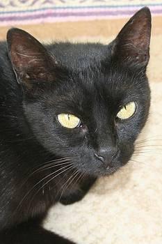 Tracey Harrington-Simpson - Beautiful Black Cat Portrait