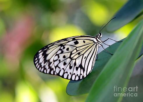 Sabrina L Ryan - Beautiful Black n White Rice Paper Butterfly