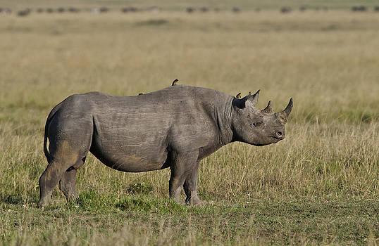 Beautiful Black Rhino by Sandy Schepis