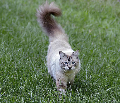 Beautiful Blue Eyed Cat Walking in Grass by Susan Leggett