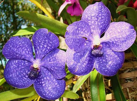 Beautiful Blue Orchids by Van Ness