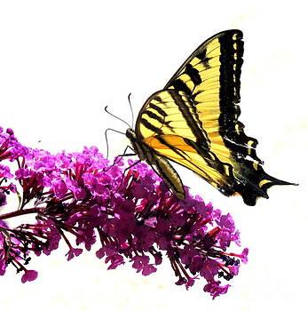 Beautiful Butterfly by Jodie  Scheller
