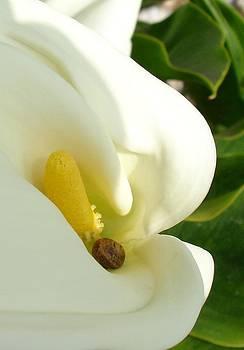 Tracey Harrington-Simpson - Beautiful Calla Flower On Green Natural Background
