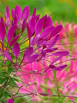 Beautiful Cleome by Lori Frisch