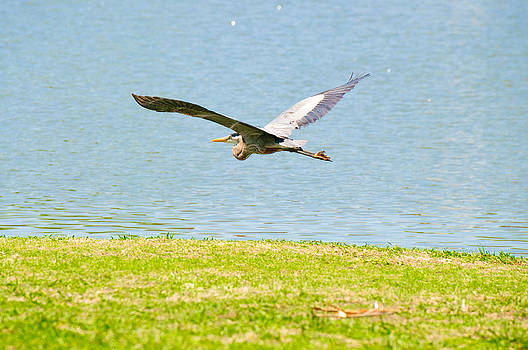 Beautiful crane flying over lake by Tammy Abrego