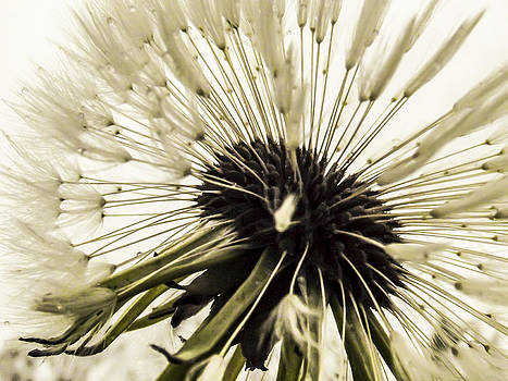 Beautiful Dandelion  by Yvon van der Wijk