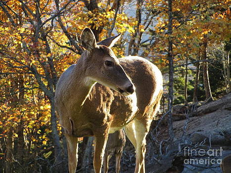 Beautiful Deer by Jaclyn Hughes Fine Art