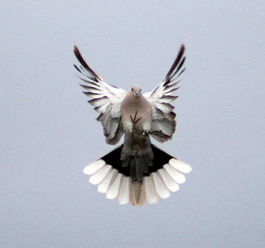 Beautiful Dove by Kathleen Nash