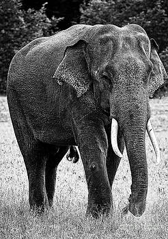 Beautiful Elephant Black And White 65 by Boon Mee