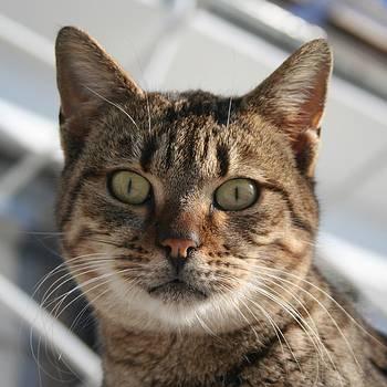 Tracey Harrington-Simpson - Beautiful Eyed Tabby Cat