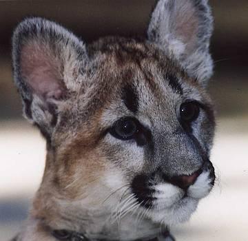 Beautiful Face-Cougar Cub by Myrna Walsh