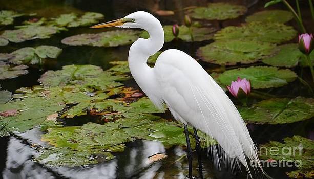 Beautiful Great Egret by Janice Spivey