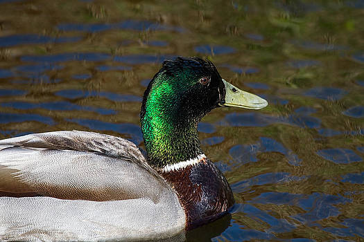 Beautiful iridescent Mallard Duck  by Mr Bennett Kent