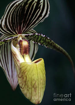 Sabrina L Ryan - Beautiful Lady Slipper Orchid