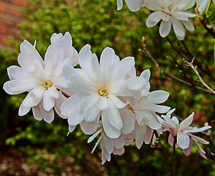 Beautiful Magnolias 2 by Victoria Sheldon