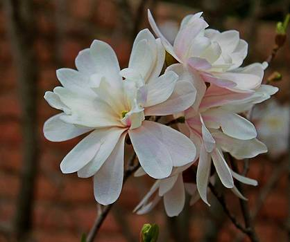 Beautiful Magnolias by Victoria Sheldon