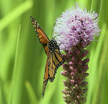 Rosanne Jordan - Beautiful Monarch Butterfly