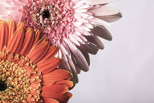 Beautiful pink  and orange gerber daisies on white background by Arisha Singh