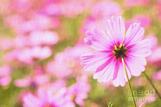Beverly Claire Kaiya - Beautiful Pink Cosmos Flower