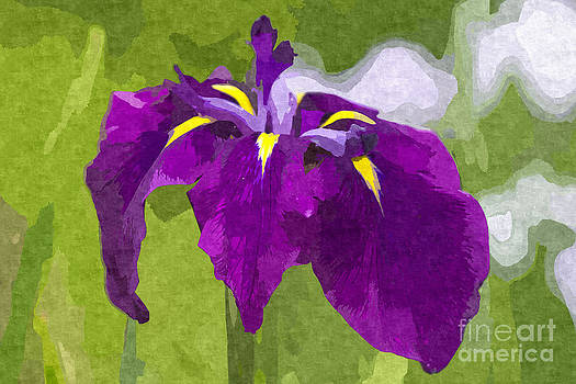 Beverly Claire Kaiya - Beautiful Purple Iris Flower in Early Summer