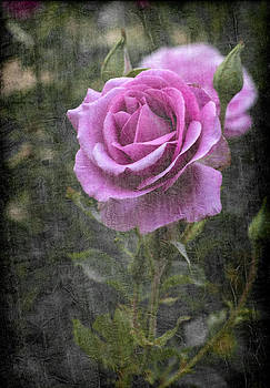 Beautiful Purple Rose On A Textured Dark Background by Kim M Smith