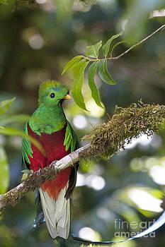 Heiko Koehrer-Wagner - Beautiful Quetzal 1