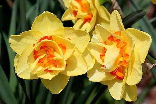 Rosanne Jordan - Beautiful Spring Daffodils