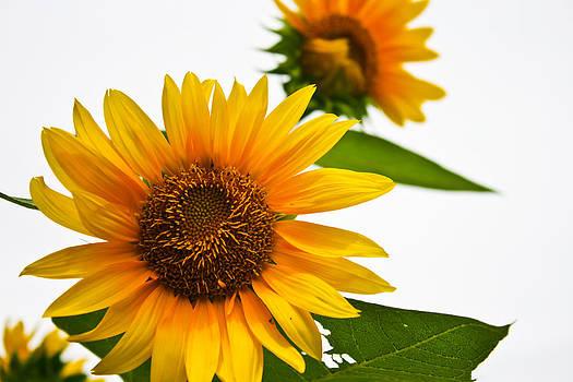 Beautiful sunflower petals closeup on white background  by Kobchai Sukruean