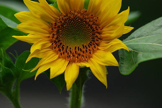 Beautiful Sunflower Plant by Wanda Jesfield