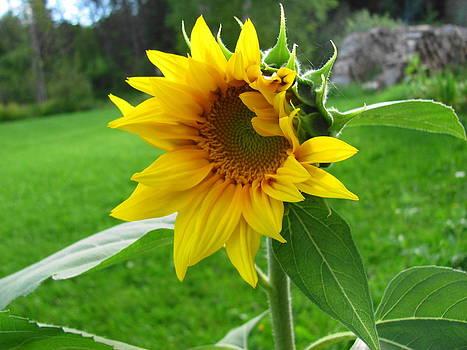 Beautiful Sunflower by Sandra Martin