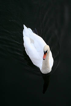 Beautiful Swan by Allan Millora