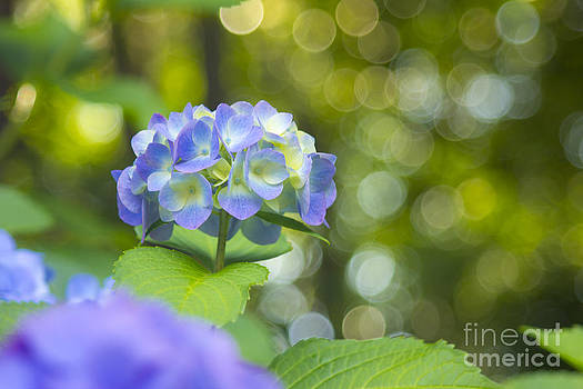 Beverly Claire Kaiya - Beautiful Violet Hydrangea with Green Leaves and Bokeh Lights
