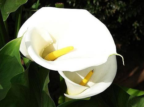 Tracey Harrington-Simpson - Beautiful White Calla Flowers In Bright Sunlight