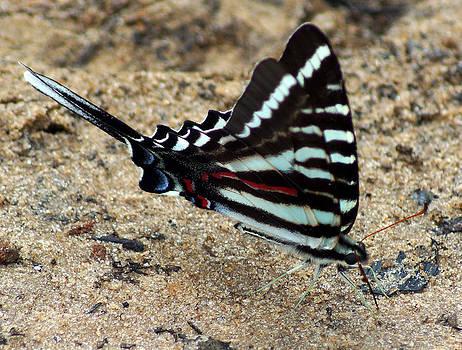 Beautiful Zebra Swallowtail Butterfly by Kim Pate