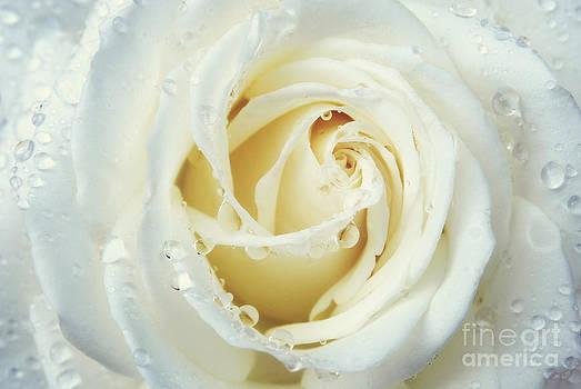 Rachel Barrett - Beauty of a White Rose