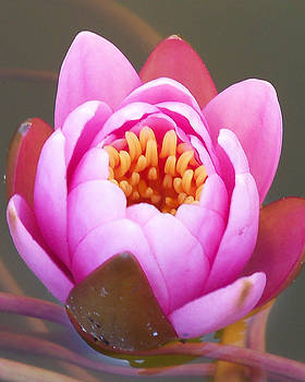Beauty of An Emerging Water Lily by Jessica  st Lewis