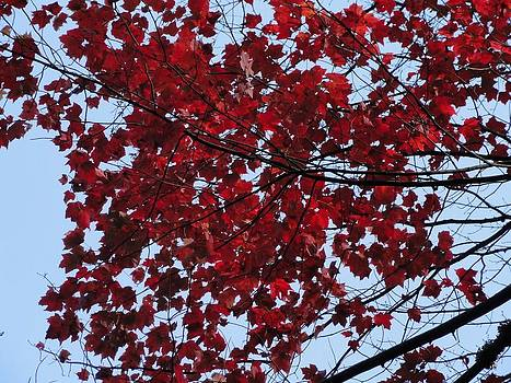 Beauty of Red Maple Leaves by R J