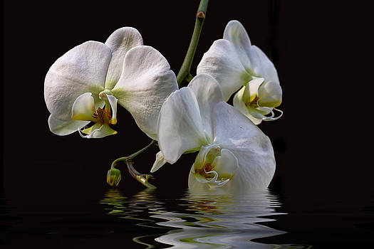 Peggy Collins - White Orchids