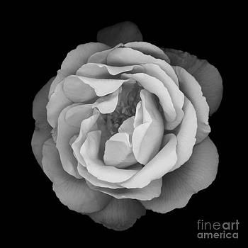 Oscar Gutierrez - Beauty Rose