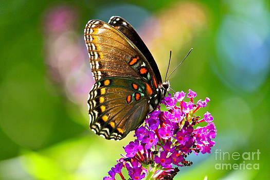 Beautyfly by Jay Nodianos