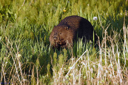 Beaver At Dusk by Ed Nicholles