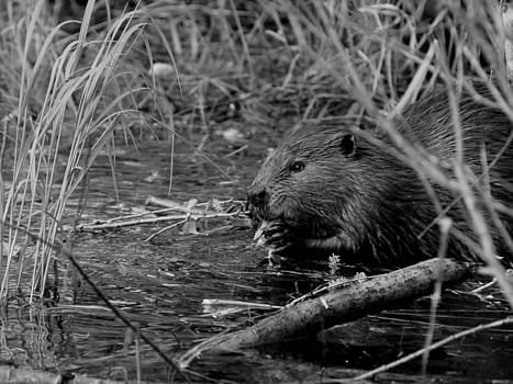 Jeremiah John McBride - beaver
