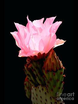 Douglas Taylor - BEAVER TAIL CACTUS FLOWER